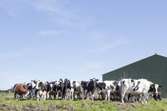 Herd of cows in dutch field near stable in green meadow Stock Images