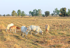 Herd of cows eating grass Stock Images