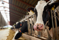Herd of cows eating hay in cowshed on dairy farm Stock Photography