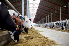 Herd of cows eating hay in cowshed on dairy farm. Agriculture industry, farming and animal husbandry concept - herd of cows eating hay in cowshed on dairy farm Royalty Free Stock Image