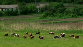 Herd Of Cows On The Farm stock video footage