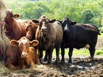Herd of Cows on a Farm. Bovine group hay Stock Photos