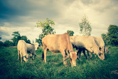 Herd Of Cows in Farmland Stock Photography