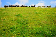 Herd of cows. On a farmland in East Devon Royalty Free Stock Photography