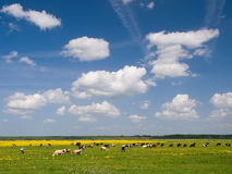 Herd of cows on field Royalty Free Stock Images
