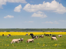 Herd of cows on field Royalty Free Stock Photo