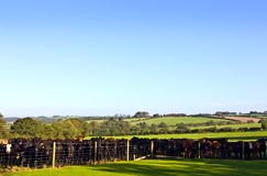 Herd of bullocks in field Royalty Free Stock Images