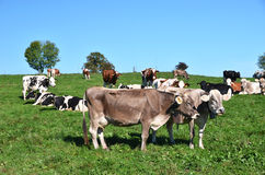 Herd of cows. On the field Royalty Free Stock Photography