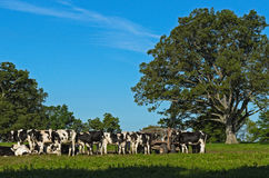 Herd of Cows in in Field Royalty Free Stock Images