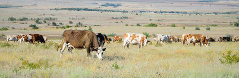 Herd of cows in a field on feeding Royalty Free Stock Photography