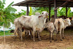 Herd cows in the field stall , watch ahead of cows , the white c Royalty Free Stock Photo