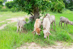 Herd cows in the field stall , watch ahead of cows , the white c Royalty Free Stock Photos