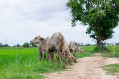 Herd cows in the field stall , watch ahead of cows , the white c Stock Image