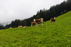 Herd of Cows on the field, Tirol, Austria. Royalty Free Stock Images