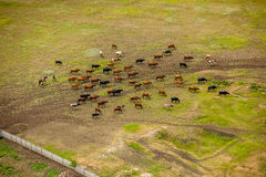 Herd of cows on the field. Herd of cows on the field view form above Stock Photos