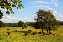 Herd of cows on a field Royalty Free Stock Photo