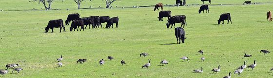 Herd of Cows and Gaggle of Canadian Geese Branta canadensis grazing and pecking together in harmony in a rural farm in Bluffdale stock photo