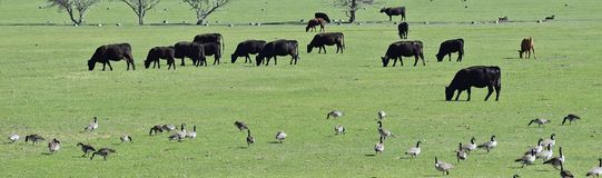 Herd of Cows and Gaggle of Canadian Geese Branta canadensis grazing and pecking together in harmony in a rural farm in Bluffdale. Utah. United States of stock photo