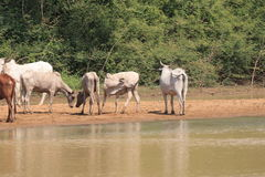 A herd of cows in Ghana. Western Africa Stock Photos