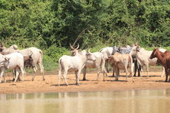 A herd of cows in Ghana. Western Africa Royalty Free Stock Photo