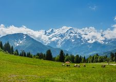 Herd cows on glade and Mont Blanc mountain massif. Herd cows on blossoming glade and Mont Blanc mountain massif Chamonix valley, France, view from Plaine Joux royalty free stock images