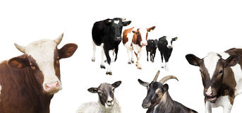 Herd of cows goat and sheep. On a white background royalty free stock images