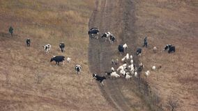 Herd of cows and goats grazing on pasture. stock footage