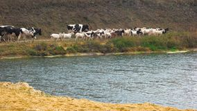 Herd of cows and goats walking along river. stock footage