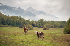 A herd of cows on the grass in the countryside Royalty Free Stock Photo