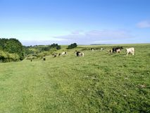 Herd of cows on grassy bank. Assorted colours of cows and calves, some showing interest in the camera Royalty Free Stock Images