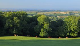 Panoramic view of valley. Herd of cows graze on the farmland in Somerset. Panoramic view of valley royalty free stock photos
