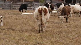 Herd of cows graze in paddock on a farm. 4K stock video