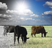 The herd of cows is grazed. In the field of a grass Stock Image