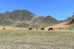 Herd of cows Stock Photo