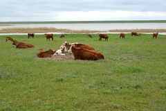 The herd of cows is grazed on the river bank Manych. Kalmykia.  Stock Image