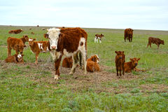 The herd of cows is grazed on a steppe pasture. Kalmykia.  Stock Photography