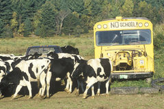 A herd of cows grazing Stock Images