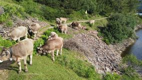 Herd of cows grazing at the alpine meadows. Italian Alps. Italy. Grazing in a natural environment. Summer time stock footage