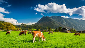 Herd of cows grazing in Alps Royalty Free Stock Photo