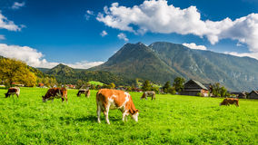 Herd of cows grazing in Alps Royalty Free Stock Image