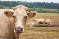 Herd of cows. Grazing on the autumn meadow stock photos