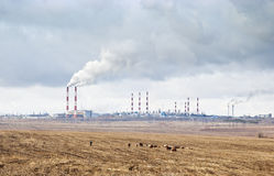 A herd of cows grazing in the background smoking chimneys of industrial enterprises Stock Images