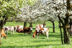 Herd of cows grazing in a blooming orchard. With apple tree and pear tree flowers - an eco-friendly way of farming stock image