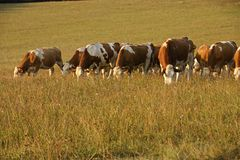 Herd of cows grazing Royalty Free Stock Image