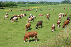 Herd of cows grazing in a carefree morning Stock Photography