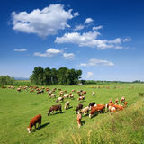 Herd of cows grazing in a carefree morning Stock Images