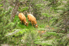 A herd of cows grazing in the Catalan Pyrenees Royalty Free Stock Images