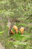 A herd of cows grazing in the Catalan Pyrenees Royalty Free Stock Photography