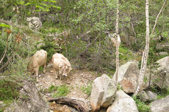 A herd of cows grazing in the Catalan Pyrenees Stock Photos