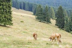Herd of cows grazing between coniferous trees Stock Image